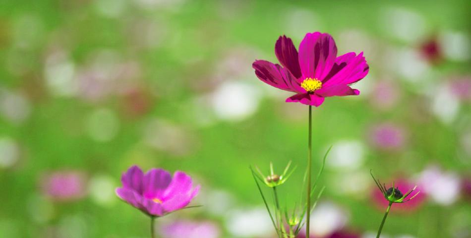 佐久の花「コスモス」